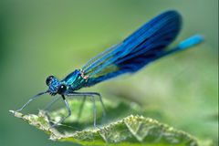 Coenagrion puella on a leaf Royalty Free Stock Photography