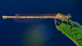 Coenagrion puella   and sky Royalty Free Stock Photography