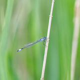 Azure Damselfly / Coenagrion puella Stock Images