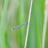 Azure Damselfly / Coenagrion puella. Azure Damselfly (Coenagrion puella) on a stick Stock Images