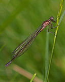 Coenagrion pulchellum, variable damselfly Royalty Free Stock Photo