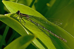 Coenagrion pulchellum, variable damselfly Royalty Free Stock Images