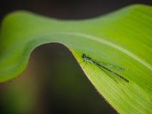 Coenagrionpulchellum Stock Afbeelding