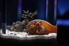 coenobita kraba eremita ziemia Fotografia Royalty Free