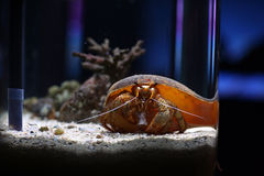 Coenobita Land Hermit Crab Royalty Free Stock Photography