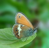 Coenonympha arcania. On the leaf Royalty Free Stock Photos