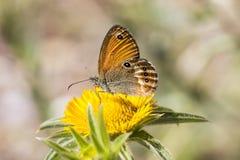 Coenonympha elbana (Coenonympha科琳娜) Elban从厄尔巴岛,意大利的荒地蝴蝶 库存图片