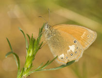 Coenonympha glycerion Royalty Free Stock Photography