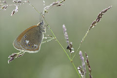 Coenonympha glycerion butterfly on plant Royalty Free Stock Photography