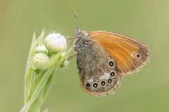 Coenonympha glycerion Stock Image