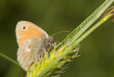 Coenonympha pamphilus Royalty Free Stock Photo