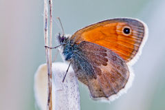 Coenonympha pamphilus Stock Photography