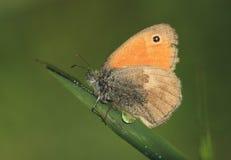 蝴蝶Coenonympha pamphilus 免版税库存图片