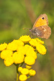 Coenonympha Pamphilus butterfly. Beautiful Coenonympha Pamphilus butterfly feeding with nectar on yellow flowers Stock Photos