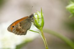Coenonympha pamphilus Stock Images