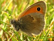 Coenonympha pamphilus macro butterfly Royalty Free Stock Photo