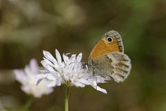 Coenonympha pamphilus, Small Heath Butterfly Royalty Free Stock Photos