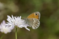 Coenonympha pamphilus, Small Heath Butterfly from Europe Stock Photo