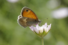 Coenonympha pamphilus, Small Heath Butterfly Royalty Free Stock Photography