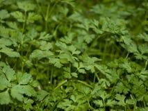 Coentro-Coriandrum sativum Fotografia de Stock