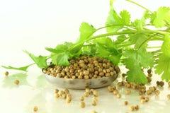 Coentro da erva com sementes Fotografia de Stock Royalty Free