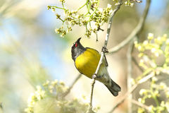 Coereba flaveola, Bananaquit. Bananaquit perching and looking for the meal Stock Photo