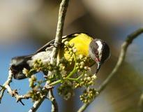 Coereba flaveola, Bananaquit. Perching looking for the sweet nectar Stock Photo