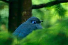 Coerulea blu di Coua, di Coua, uccello grigio e blu raro con la cresta, nell'habitat della natura Couca che si siede sul ramo, Ma fotografia stock libera da diritti