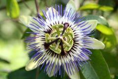 Coerulea della passiflora Fotografia Stock Libera da Diritti