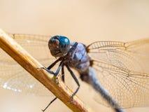 Coerulescens de Orthetrum da libélula que aquecem-se no sol em uma manhã fresca do verão na floresta foto de stock royalty free