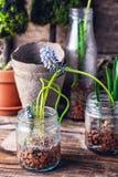 Coeruleum floreciente del Muscari Foto de archivo libre de regalías