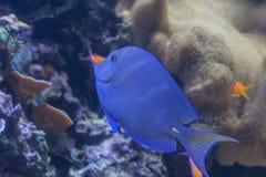 Coeruleus d'Acanthurus, natation bleue de surgeonfish à l'intérieur d'aquarium Images stock
