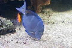 Coeruleus d'Acanthurus, natation bleue de surgeonfish à l'intérieur d'aquarium Image libre de droits
