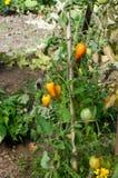 Coeur antique de variété de tomates de boeuf Photos stock