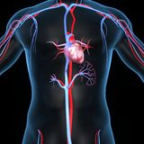 Coeur avec des artères et des veines Images stock