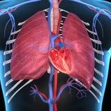 Coeur avec des poumons Images libres de droits