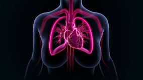 Coeur avec des poumons Images stock