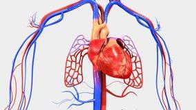 Coeur avec l'appareil circulatoire illustration stock