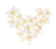 Coeur blanc de fleur de jasmin Photographie stock