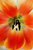 Coeur d'une tulipe photos stock