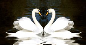 Coeur de cygnes images libres de droits