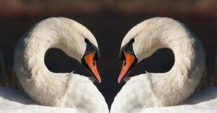 Coeur de cygnes Image libre de droits