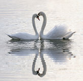 Coeur de cygnes Photo libre de droits