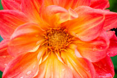 Coeur de dahlia détaillé Image libre de droits