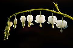 coeur de fleur de purge Image libre de droits