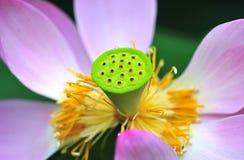 Coeur de lotus Photographie stock
