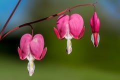 Coeur de Marie - spectabilis de Dicentra photographie stock libre de droits