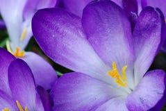 Coeur de safran Image stock