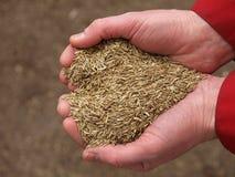 Coeur des graines d'herbe, plan rapproché Photographie stock