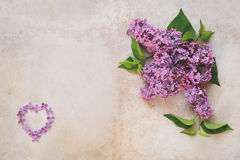 Coeur des pétales et des fleurs de lilas de chair Image libre de droits